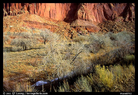 Limestone cliffs and desert cottonwoods in winter. Capitol Reef National Park, Utah, USA.