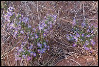 Desert flowers growing on sandy soil. Capitol Reef National Park, Utah, USA.