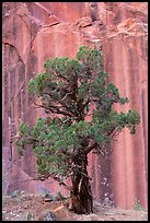 Tree and rock wall, Grand Wash. Capitol Reef National Park, Utah, USA. (color)