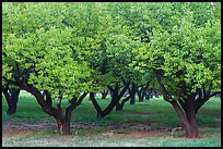 Fruit trees in Mulford Orchard. Capitol Reef National Park ( color)