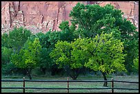 Fruit trees in historic orchard and red cliffs. Capitol Reef National Park, Utah, USA. (color)