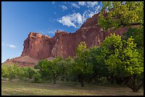Historic orchard and cliffs, late summer. Capitol Reef National Park, Utah, USA. (color)