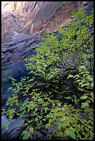 Maple in Surprise canyon. Capitol Reef National Park, Utah, USA. (color)