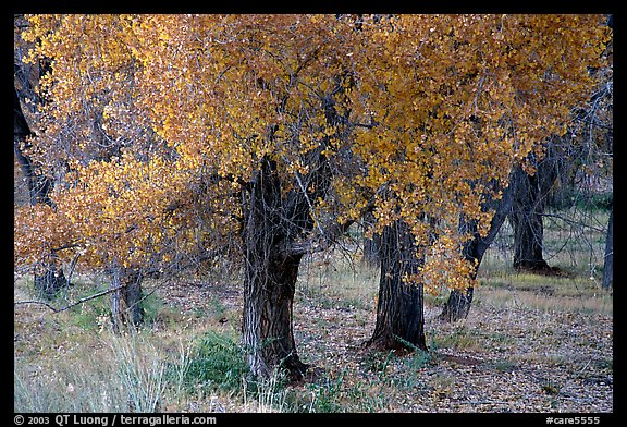 Orchard trees in fall foliage, Fuita. Capitol Reef National Park, Utah, USA.