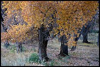 Orchard trees in fall foliage, Fuita. Capitol Reef National Park, Utah, USA. (color)