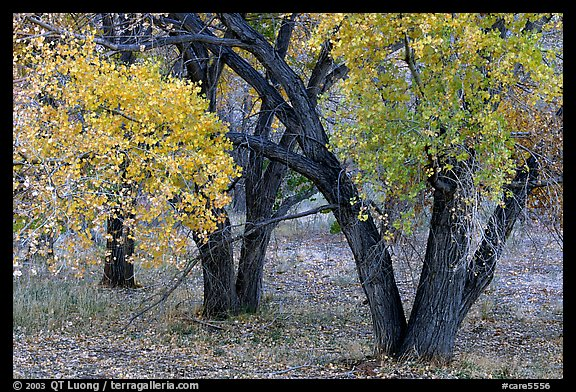 Orchard trees in fall colors, Fuita. Capitol Reef National Park, Utah, USA.
