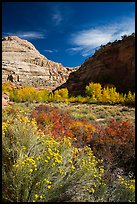 Blooming sage and cottonwoods in autum colors, Fremont River Canyon. Capitol Reef National Park, Utah, USA. (color)