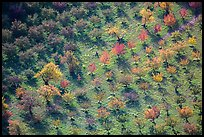 Orchard trees in autumn from above. Capitol Reef National Park, Utah, USA. (color)