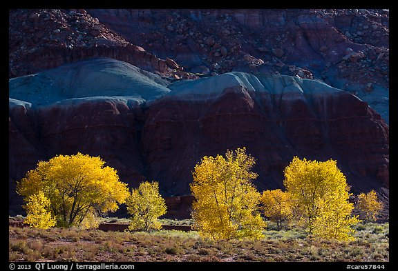 Cottonwood trees in the fall against shale. Capitol Reef National Park (color)