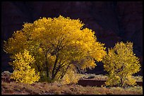 Cottonwood trees in autumn against cliffs. Capitol Reef National Park, Utah, USA. (color)