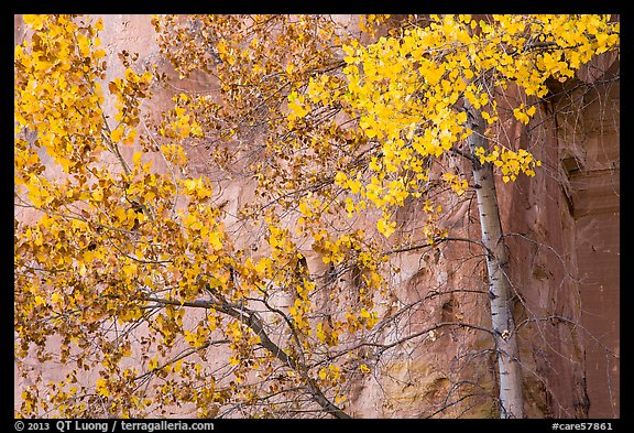Aspen in fall foliage against red cliff. Capitol Reef National Park (color)
