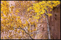 Aspen in fall foliage against red cliff. Capitol Reef National Park, Utah, USA. (color)