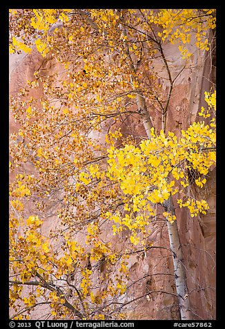 Aspen tree in autumn foliage against red cliff. Capitol Reef National Park (color)