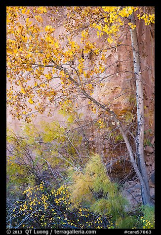 Tree and shrubs in autumn foliage against red cliff. Capitol Reef National Park (color)