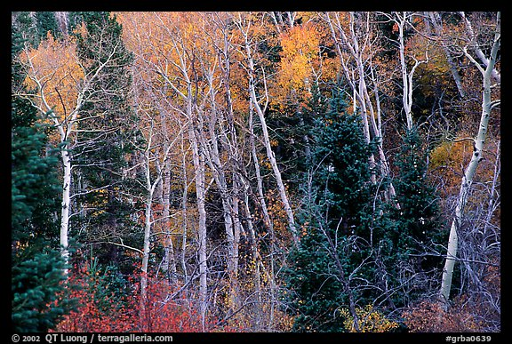 Autumn colors, Windy Canyon. Great Basin National Park (color)