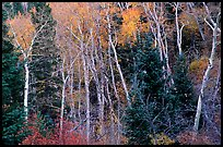 Autumn colors, Windy Canyon. Great Basin National Park, Nevada, USA. (color)