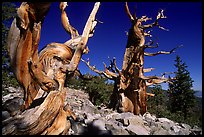 Bristlecone Pine trees near Wheeler Peak, morning. Great Basin National Park, Nevada, USA. (color)