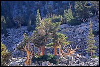 Bristlecone Pine trees and tallus, Wheeler cirque. Great Basin National Park, Nevada, USA.