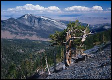 Bristlecone pine tree on slope overlooking desert, Mt Washington. Great Basin National Park, Nevada, USA.