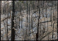 Forest of burned trees. Great Basin National Park, Nevada, USA.