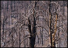Burned trees on hillside. Great Basin National Park, Nevada, USA. (color)