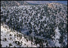 Hillside covered by forest of Bristlecone Pines near Mt Washington. Great Basin National Park, Nevada, USA. (color)