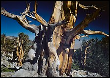 Bristelecone pine grove at the base of Wheeler Peak. Great Basin National Park, Nevada, USA. (color)