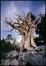 Ancient Bristlecone Pine, Wheeler Peak Basin, afternoon. Great Basin National Park, Nevada, USA.