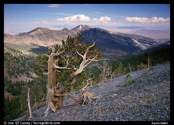 Bristelecone pines on Mt Washington, overlooking valley and distant ranges. Great Basin National Park (color)