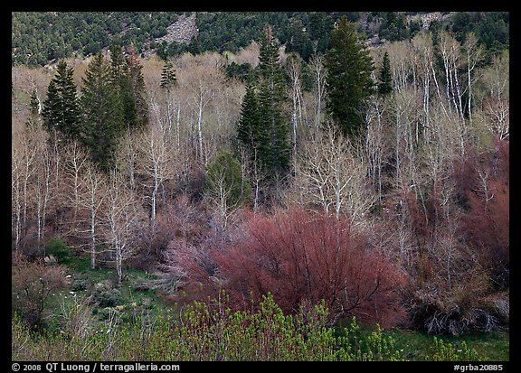 Bare trees, new leaves, and conifers. Great Basin National Park, Nevada, USA.