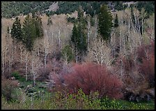 Bare trees, new leaves, and conifers. Great Basin National Park, Nevada, USA. (color)