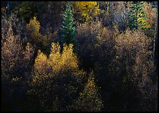 Autumn colors, Windy Canyon, late afternoon. Great Basin National Park, Nevada, USA.
