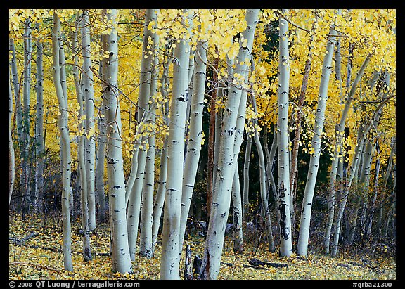 Aspens, Snake Creek, autumn. Great Basin National Park (color)