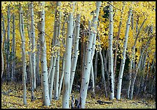 Aspens, Windy Canyon, autumn. Great Basin National Park, Nevada, USA.