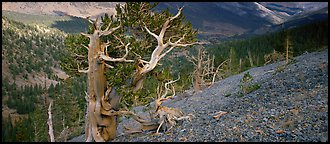 Bristlecone pine on rocky slope. Great Basin  National Park (Panoramic color)