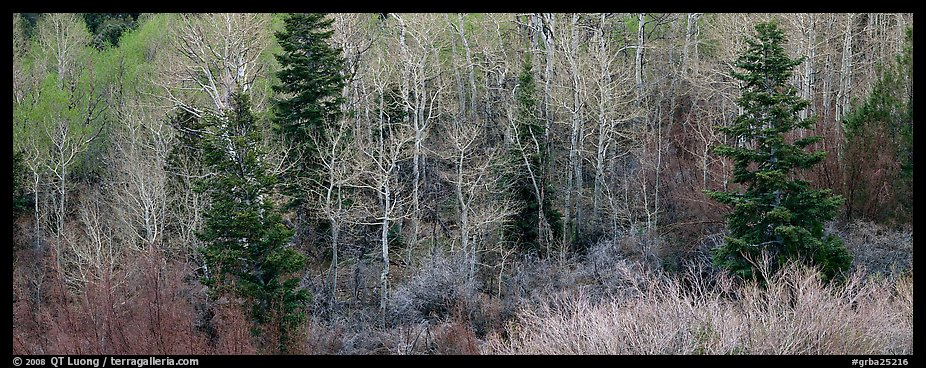 Spring mosaic of trees. Great Basin National Park (color)