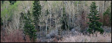 Spring mosaic of trees. Great Basin National Park (Panoramic color)