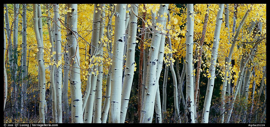 Autumn aspens, Windy Canyon, Snake Creek. Great Basin National Park (color)