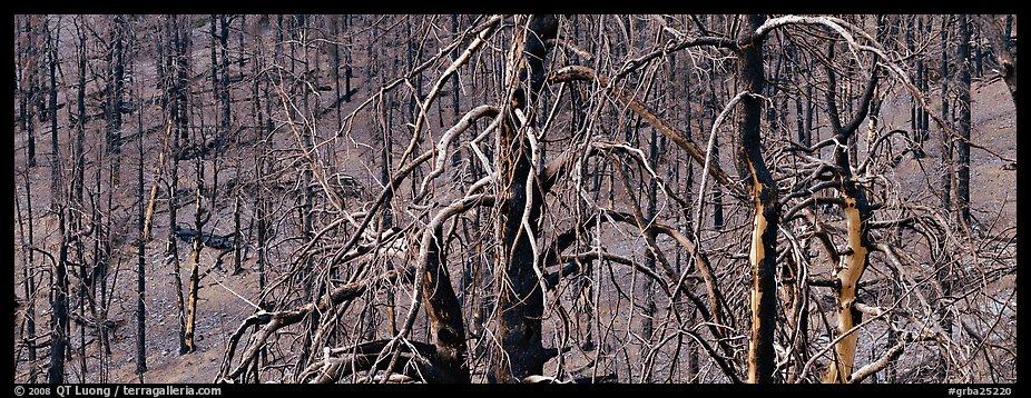 Burned trees landscape. Great Basin National Park (color)