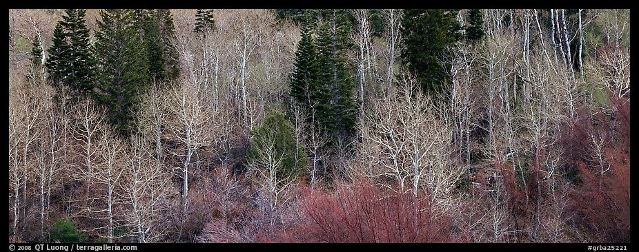 Bare trees in early spring. Great Basin National Park (color)