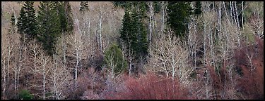 Bare trees in early spring. Great Basin National Park (Panoramic color)