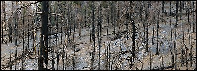Burned forest. Great Basin National Park (Panoramic color)