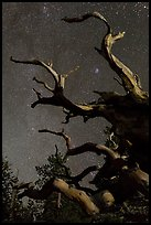 Twisted branches of bristlecone pine and stars. Great Basin National Park, Nevada, USA. (color)