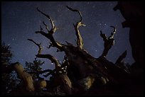 Twisted bristlecone pine and stars by night. Great Basin National Park, Nevada, USA. (color)
