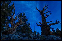 Bristlecone pine trees with last stars at pre-dawn. Great Basin National Park, Nevada, USA. (color)