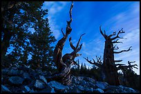 Bristlecone pine trees at twilight, Wheeler cirque. Great Basin National Park, Nevada, USA. (color)