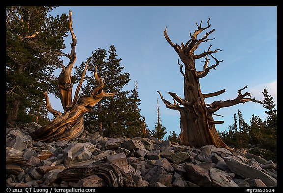 Bristlecone pine trees at dawn, Wheeler cirque. Great Basin National Park (color)