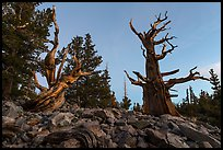 Bristlecone pine trees at dawn, Wheeler cirque. Great Basin National Park, Nevada, USA. (color)