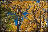 Trees with leaves in autumn foliage. Great Basin National Park, Nevada, USA.