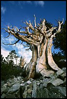 Ancient Bristlecone Pine, Wheeler Peak Basin, afternoon. Great Basin National Park, Nevada, USA. (color)